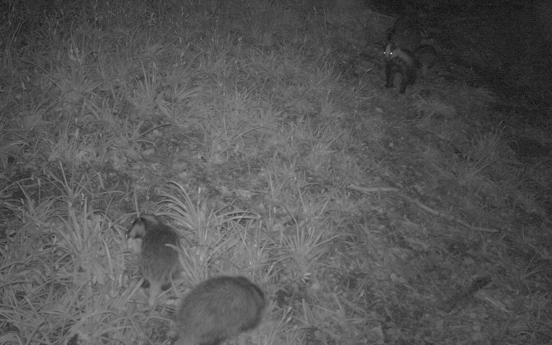 badgers, badgers, badgers